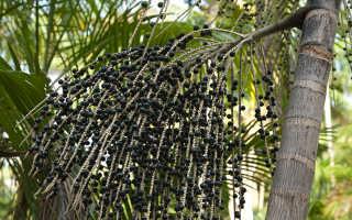 Ягоды асаи – отзывы, полезные свойства и противопоказания к применению