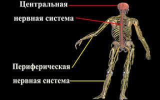 Периферическая нервная система: из чего состоит