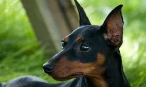 Как выбрать щенка карликового пинчера и особенности собаки