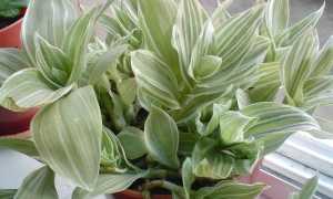 Традесканция – как выглядит цветок и его Родина, разновидности и лечебные свойства с рецептами