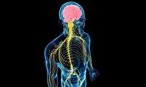 Соматическая нервная система и её роль в организме людей – какими нервами управляет