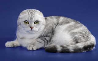 Шотландские вислоухие котята: как ухаживать за породой