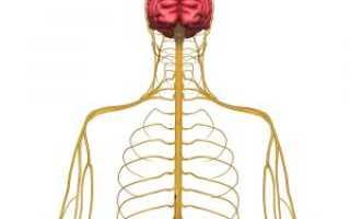 Симпатическая нервная система: строение и функции, отличие от парасимпатической структуры