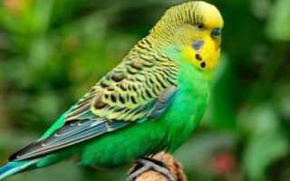 Имена для попугаев – перечень оригинальных и красивых для мальчиков или девочек