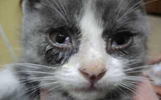 Причины и лечение слезотечения у котов