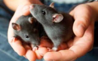 К чему снятся крысы – значение и толкование сноведений для мужчин и женщин в сонниках
