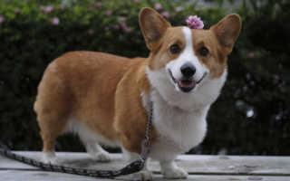 Характеристики и описание собаки породы корги