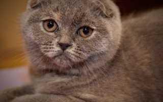 Характер и уход за вислоухой кошкой