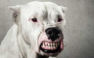 Рейтинг самых опасных пород собак с описанием и фото