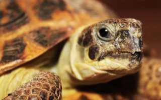 Сухопутная черепаха – виды, описание с фото, содержание дома, кормление и размножение