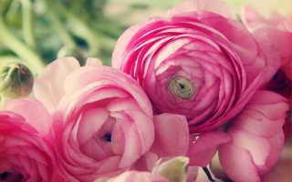 Лютики садовые – посадка и уход, особенности проращивания, обрезки и размножения