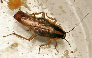 Эффективные средства борьбы с тараканами в домашних условиях