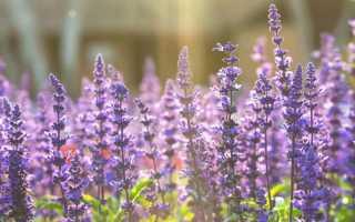 Шалфей – лечебные свойства и противопоказания растения
