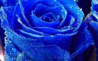 Синие розы – где выращивают, что символизируют и цена букета