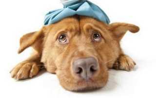 Симптомы укуса клеща у собак и последствия