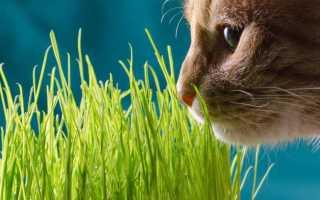 Трава для кошек – название и как вырастить дома, фото и видео