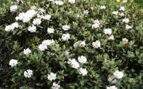 Саган-дайля – польза и вред лекарственной травы, приготовление чая, отвара и настойки
