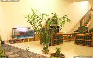 Как ухаживать за бамбуком в домашних условиях
